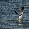 Laughing Gull Goes Fishing