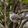 Young Northern Mockingbird