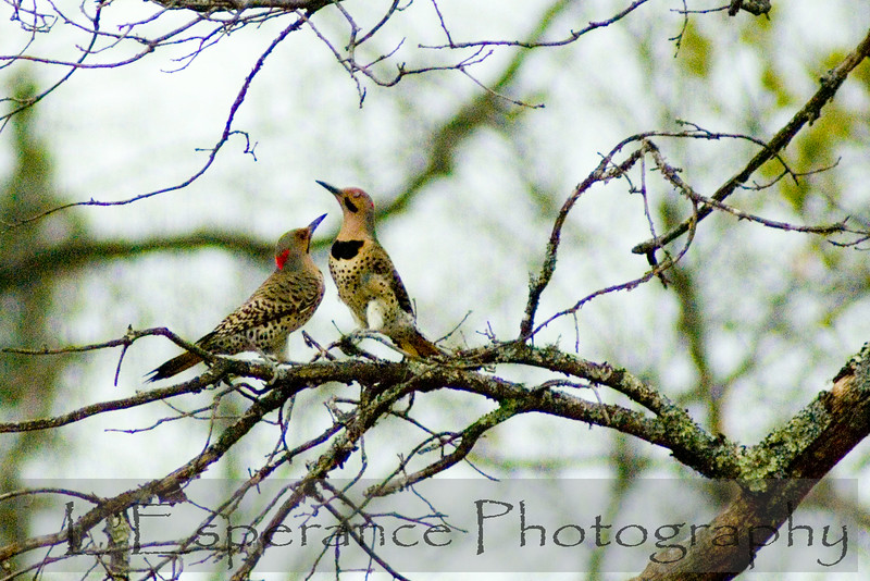 mating northern flickers
