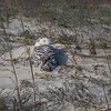 Snowy Owl near Jacksonville