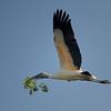 Wood Stork making its nest