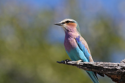 Lilac-breasted roller Linyanti Swamp, Botswana