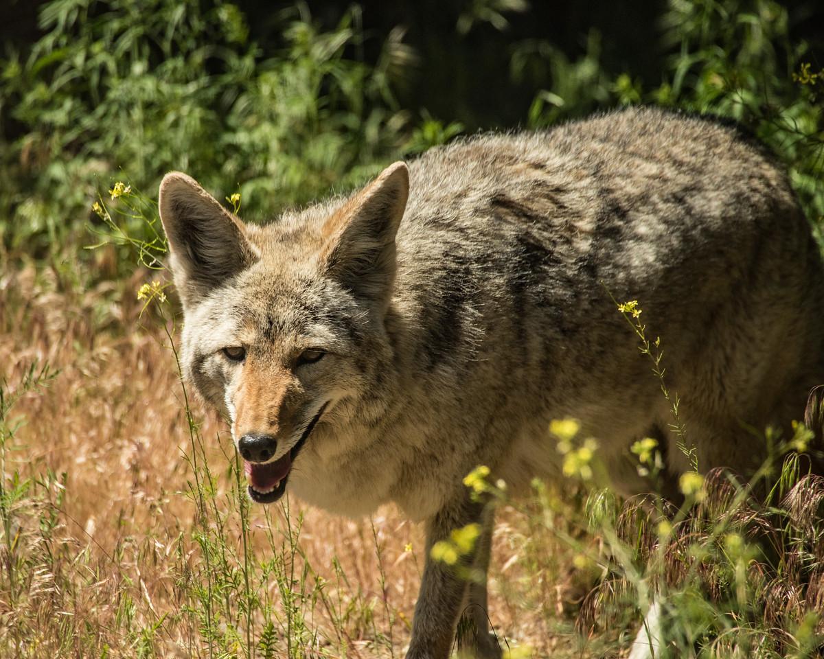 Coyote 6957