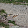 Black Tailed Weasel being chased by Ground Squirrel, Glacier National Park, Montana