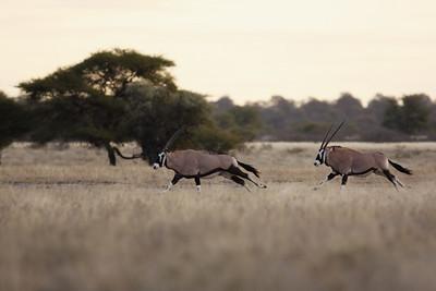 Oryx chase Central Kalahari, Botswana