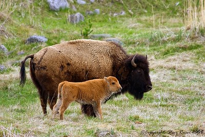 Momma and baby bison - Yellowstone National Park