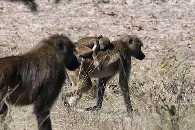 Baboons Linyanti Swamp, Botswana