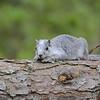 Delmarva Squirrel, Chincoteague NWR