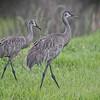 Pair of Sandhill Cranes  in Paynes Prairie