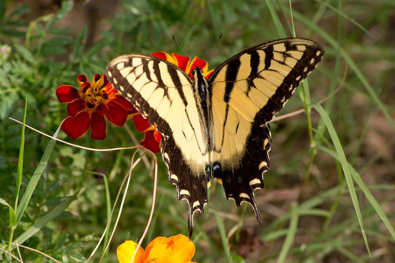 Tiger Swallowtail, Chesapeake, VA