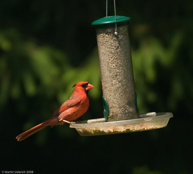 Cardinal Feeding in the Back Yard