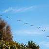 Pelican formation over Laguna Beach
