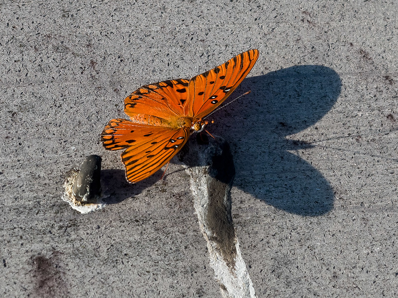 Passion Butterfly on Boardwalk at La Chua Trail