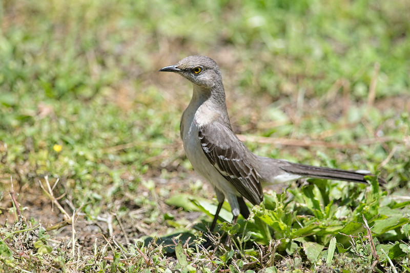Young Jacksonville Northern Mockingbird