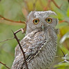 Yellowstone Owl