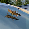 Grasshopper on Truck Windshield