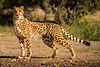 Cheetah 5364