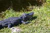 Alligator16