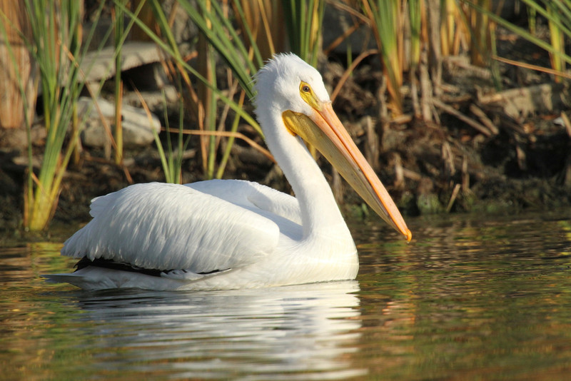 White Pelican Lake Chabot