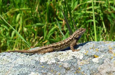Lizard Mt. Burdell