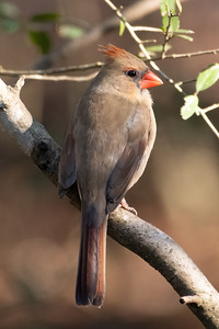Female Northern Cardinal, The Woodlands, TX February19, 2021