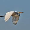White Heron over Newnan's Lake