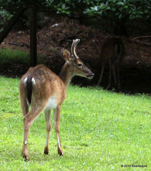 After the thunderstorm...I opened my door to find this young buck in the yard. There were 6 other deer in the yard, does and one fawn about 30 feet away from him. Day 229/365 #365project @sharkbayte