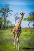 Giraffe in Spring