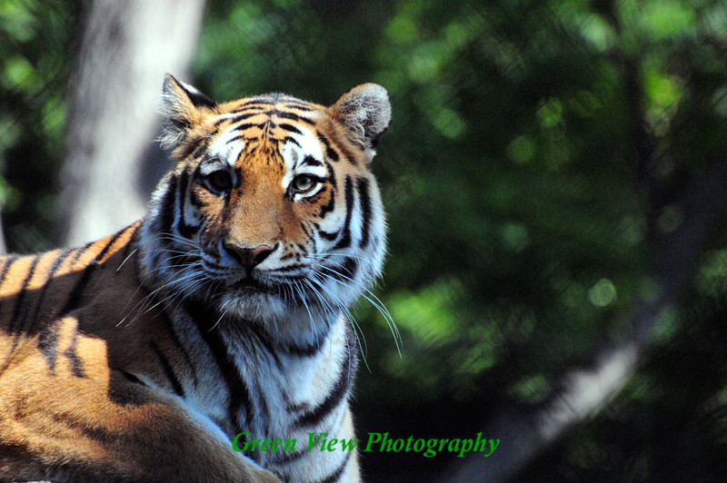 Handsome Tiger