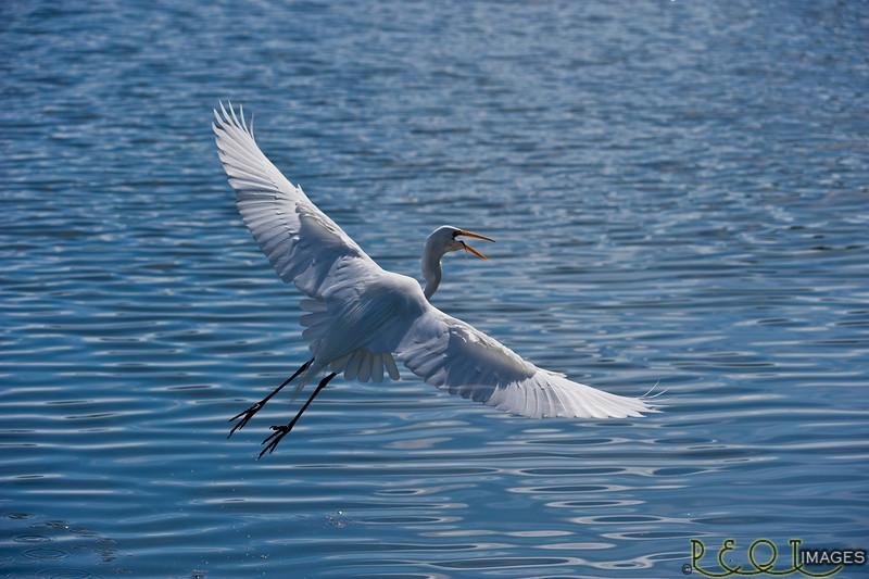 Egret Flight full