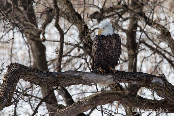 Eagle Gazing