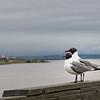 Pair of Franklin's Gulls