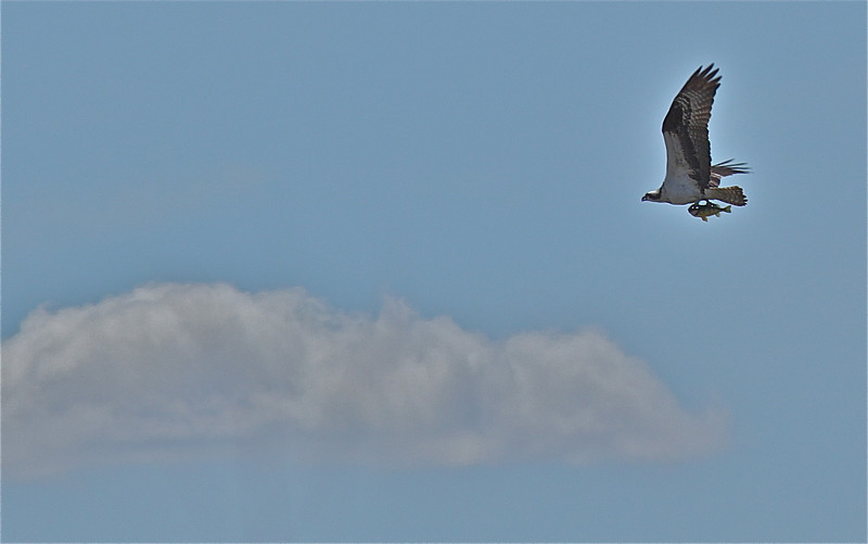 Osprey with Perch