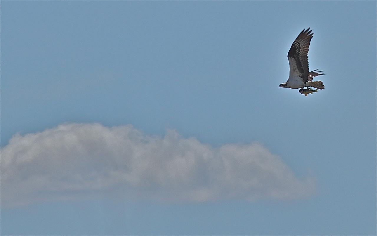 Osprey with Perch