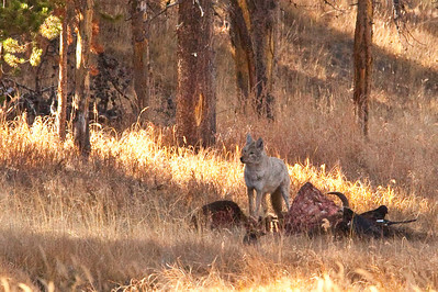Breakfast, lunch and dinner. This coyote is ever vigilant for wolves and bears as he takes a turn at the feast presented by this downed bison.