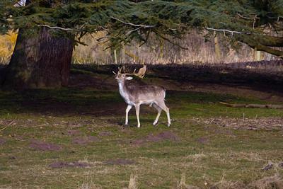Jacobs deer Charlecote House