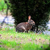 Cottontail, Kellum Creek