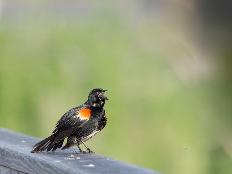 Red-Winged Blackbird at Paynes Prairie