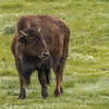 Bison yearling - Grand Tetons Spring 2015
