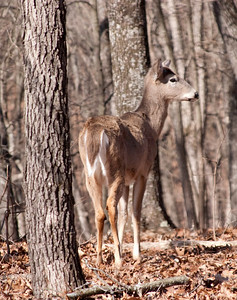 Whitetail Deer - Lone Elk Park - March 2010 - #3