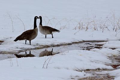 Loving geese
