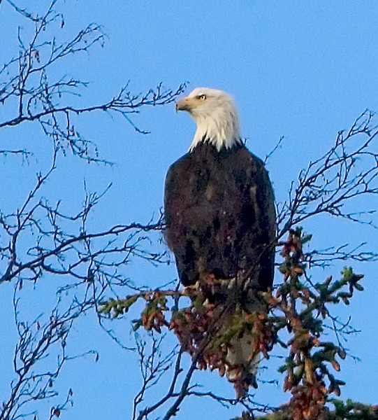 Eagle perched in a tree along the Seward Highway on the Kenai Peninsula south of Anchorage, Alaska in late Autumn.