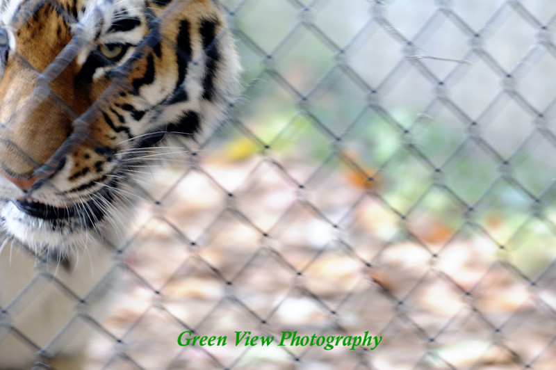 Tiger Through the Fence