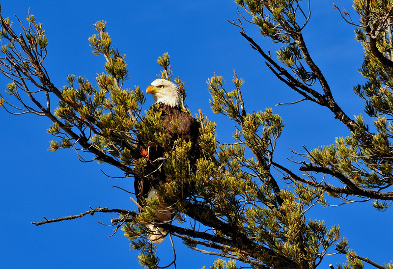 Bald Eagle, Lamar River, Yellowstone National Park   #172