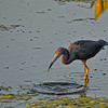 Little Blue Heron in the St. Johns River