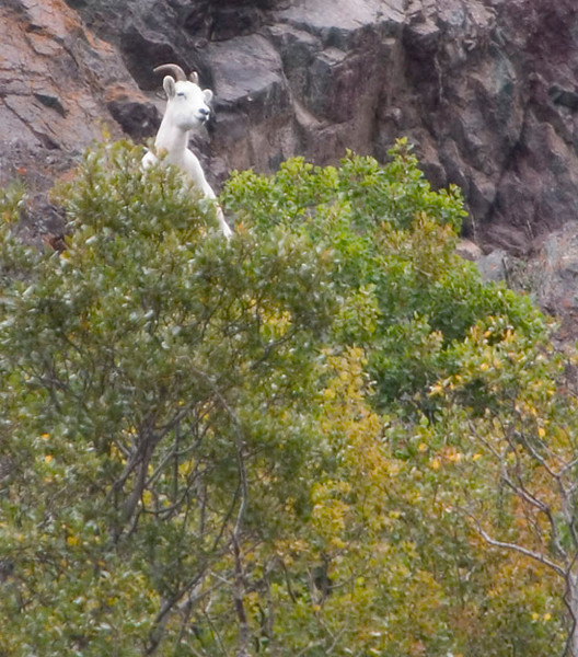 This lone Dall Sheep were photographed in the Chugach Mountains along Turnagin Arm south of Anchorage, Alaska.