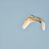 Great Egret soaring over Rodman Reservoir