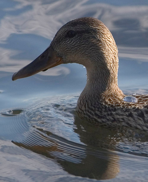 This duck was photographed at Lake Hood, near Anchorage, Alaska in late summer.