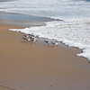 Plovers racing with the tide