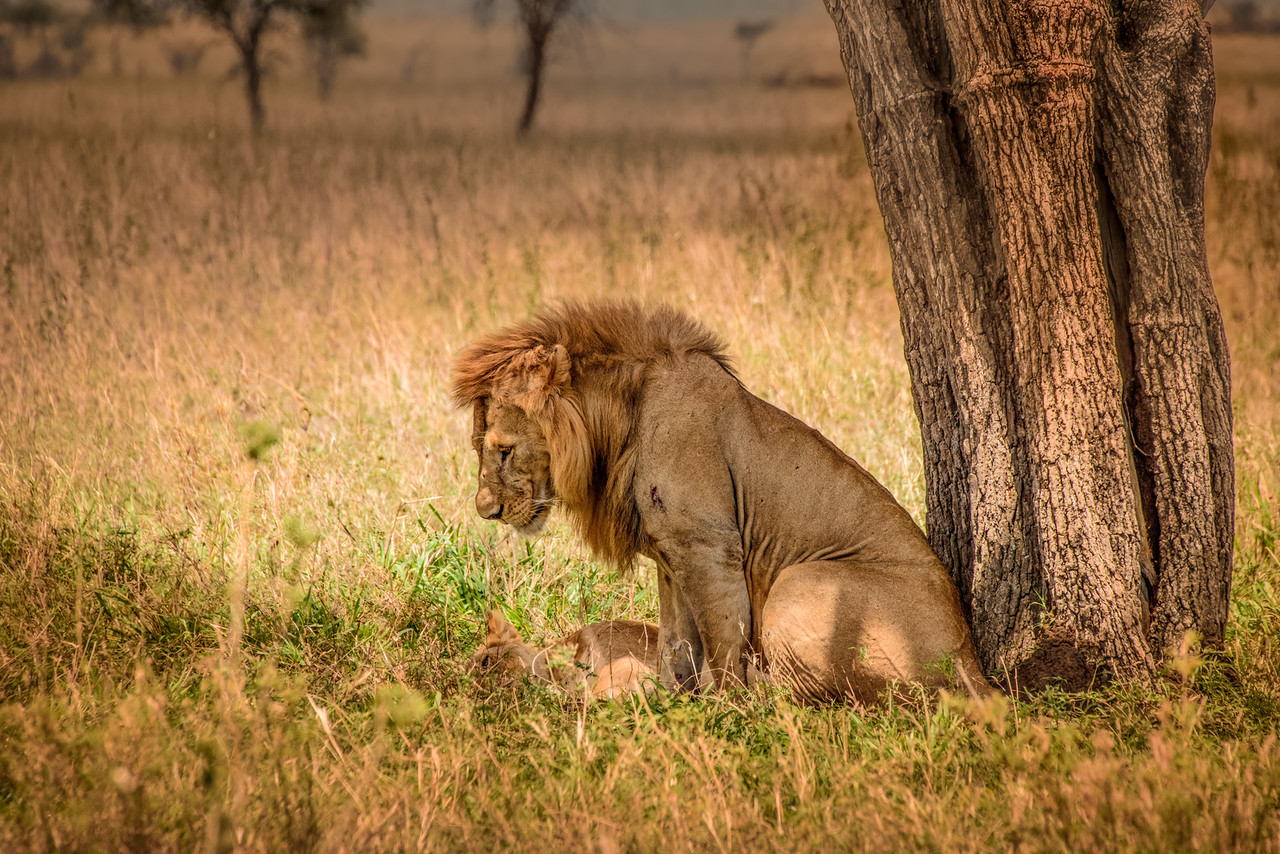 Lion mating pair 9739